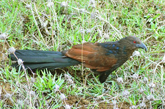 Greater_coucal_02 (Jyotiprasads) Tags: birds commonbirds birdsofodisha odishabirds