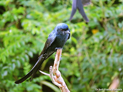 Black_drongo_03 (Jyotiprasads) Tags: birds commonbirds birdsofodisha odishabirds
