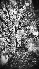 elms on nightmare St. (Carrots-Gilly) Tags: street autumn blackandwhite fall halloween leaves fence alley noir monochromatic nightmare elms
