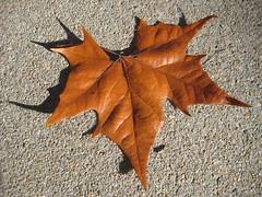 Faded Leaf (laedri52) Tags: leaf nebraska faded omaha hazan sonbahar yaprak solgun güz solmuş