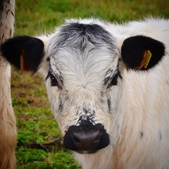 Mooooo (franbanks1 -( another day balder ) colin banks) Tags: uk england northampton nikon cattle cows calf d7000 franbanks uploaded:by=flickrmobile flickriosapp:filter=nofilter
