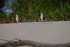 60069701 (wolfgangkaehler) Tags: brazil bird southamerica wildlife brazilian northern matogrosso pantanal sandbank seabird 2014 southamerican portojofre blackskimmersrynchopsniger cuiabariver northernpantanal