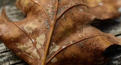 Weathered Leaf - Explore (mswan777) Tags: autumn trees color macro fall nature leaf nikon michigan sigma d5100
