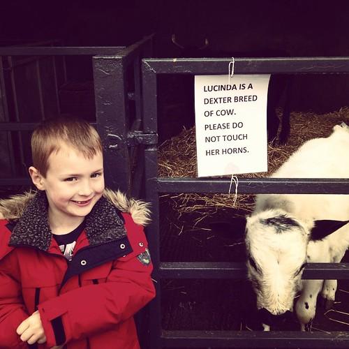 Dexter meets a Dexter #dexter #cow #lucinda