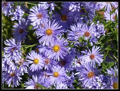 flower fleur aster