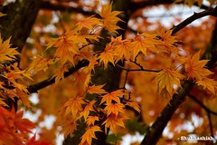 Changing season.. (Shubhashish Chakrabarty) Tags: autumn fall japan 日本 紅葉 秋 kawaguchiko 河口湖 もみじ