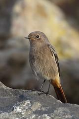 Black Redstart (Chris B@rlow) Tags: bird birds northumberland redstart phoenicurusochruros blackredstart stmarysisland britishbirds ukbirds