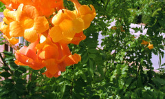 "Orange desert blooms & green leaves • <a style=""font-size:0.8em;"" href=""http://www.flickr.com/photos/34843984@N07/15546672915/"" target=""_blank"">View on Flickr</a>"