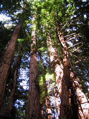 "Coast Redwoods towering into the sky • <a style=""font-size:0.8em;"" href=""http://www.flickr.com/photos/34843984@N07/15547301562/"" target=""_blank"">View on Flickr</a>"
