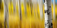 Flagstaff-1443b (Michael-Wilson) Tags: autumn arizona abstract blur fall yellow az flagstaff michaelwilson