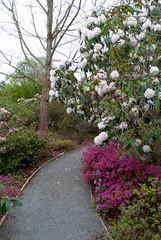 Wonders of Spring (Jocey K) Tags: flowers trees newzealand christchurch sky gardens woodland spring azaleas purple rhododendron pathway ilamgardens