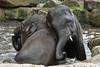 Aziatische olifanten (K.Verhulst) Tags: elephant elephants emmen noorderdierenpark olifanten dierentuinemmen aziatischeolifant asiaticelephants