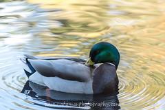 BeaconHillPark-0276.jpg (Ataman Photography) Tags: park canada bird animal duck pond nikon bc britishcolumbia victoria vancouverisland d750 70200 f4 beaconhill beaconhillpark greatervictoria nikon70200mmf4 greatervictoriaregion