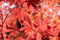park autumn maple pentax 日本 秋 yamanashi k3 山梨 モミジ smcpentaxda18135mmf3556edalifdcwr ricohimaging 山梨県立考古博物館 曽根丘陵公園