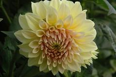 Dahlia (amanda.parker377) Tags: pink dahlia yellow pompom