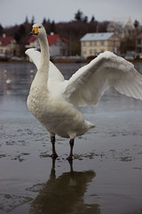 Swan (Mr McCarthy!) Tags: white lake reflection bird ice water canon iceland swan wings wing sigma swans flapping reykjavk flap 550d