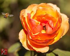 Rose Bee (*PhotoByJohn*) Tags: california macro nature garden losangeles flora bees bee 5d honeybee flyinginsect beeinflight southcoastbotanicgarden ranchopalosverdes beemacro photobyjohn canon5dmkii 5dmkii