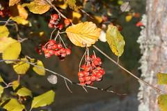 plein feu sur les baies rouge (luka116) Tags: automne schweiz switzerland suisse swiss svizzera arbre wallis valais baie 2011 arbaz arbustre