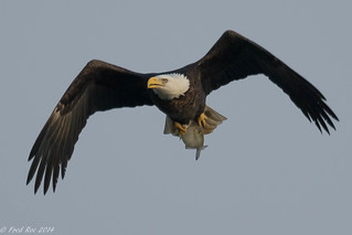Bald Eagle [Haliaeetus leucocephalus] with breakfast