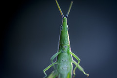 My First Model Photo Shoot... (Kyle Taylr) Tags: macro photography photoshoot alien australia grasshopper