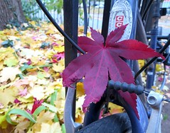 CC M is for Maple (Georgie_grrl) Tags: autumn red toronto ontario fall bike bicycle leaf japanesemaple ccm bikingtoronto changeyourliferideabike canonpowershotelph330hs mynewdarkpinkside