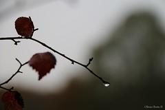 (Olivb77) Tags: tree fall nature water rain automne eau seasons pluie arbre saisons branche