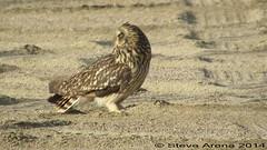 Short-eared Owl (Asio flammeus) (Steve Arena) Tags: bird birds video raptor owl jeddah migration saudiarabia birdofprey migrating migrant seow shortearedowl asioflammeus videograph videographed