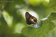 Hypolimnas deois (Hiro Takenouchi) Tags: wild nature butterfly insect wildlife butterflies mimic bacan