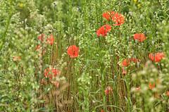 maki-DSC_0066 (Marek7) Tags: poppies red meadow grass green nature
