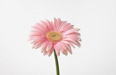Subtle (AleQueroDodge) Tags: flower macro pink petals flora daisy gerbera love delicate alequero nature highkey
