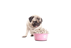 cute pug dog puppy looking at foow bowl filled with treats (monicaclick) Tags: adorable animal bowl canine cookie cookies cute dog eager eat eating eats enjoying enjoys filled food funny fur greedy hungry keen looking pet pretty pug puppy smalldog tongue tongueout treat treats whitebackground