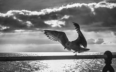A Balancing Act (Fourteenfoottiger) Tags: herringgull seaside sea seabirds seagull clouds monochrome mono blackandwhite balancing bird silverlining feathers wings