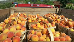 """East Down and Bound, Loaded Up And Truckin....."" (~ Cindy~) Tags: peaches truck produce market farmers loadedtruck bedfull east boundanddown 2016"