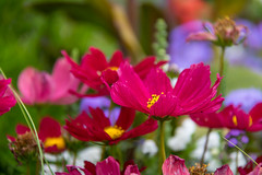 Flower (Infomastern) Tags: klostertrdgrden ystad blomma flower