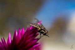 Poise (stuanderson7) Tags: bokeh plant macro nature flower outdoor insect fly depthoffield