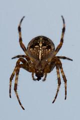 Cross Spider Top Profile (Michelle de Vries) Tags: orbweaver spider araneusdiadematus macro web vancouverisland britishcolumbia cross