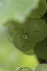 Champagne at source (ZeGaby) Tags: bokeh champagne chardonnay droplet grapes pentax100mmmacro pentaxk1 vigne vineyards