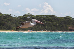 Australian Pelican (Effecs) Tags: new south wales pelecanus conspicillatus durras wildlife australia animal wild travel tourism nature oceania water sea ocean murramarang national park australian pelican black white bird waterbird large flying fly flight wings