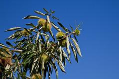 Chestnut (JOAO DE BARROS) Tags: barros joao chestnut botany tree fruit