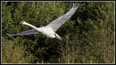 IMG_0061 Mute Swan (scotchjohnnie) Tags: muteswan cygnusolor ornithology bird birdphotography ukbirds waterbird waterfowl nature naturewildlifeandbirds wildlife wildanimal canon canoneos canon7dmkii canonef100400f4556lisiiusm scotchjohnnie