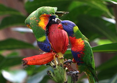 Rainbow Warriors [eXPLoReD] (Ger Bosma) Tags: 2mg194244 regenbooglori trichoglossushaematodus rainbowlorikeet allfarblori keilschwanzlori regenbogenlori loriquetttebleue loriquetarcenciel loriquetdeswainson loriarcoris lorichettoarcobaleno australasianparrot parrots australia southeastasian tropics tropical birds lorikeet lorikeets
