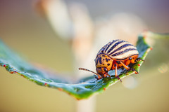 IMG_4278-Edit.jpg (_Sylvian) Tags: bokeh coloradobeetle sunrise sunset micro nature leaf insect garden morning plant wild wildlife dof cockchafer bug dew colorful closeup fauna macro waterdrops beetle