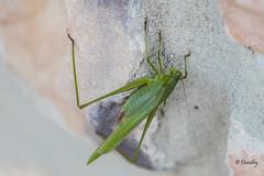 Obliging Katydid (Jersey Camera) Tags: katydid bushcricket tettigoniidae
