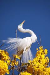 Serie com a Garca-branca-grande, no topo do Ipe-Amarelo - Series with the Great Egret (Casmerodius albus, sin. Ardea alba) at the top of the Trumpet tree, Golden Trumpet Tree (Tabebuia [chrysotricha or ochracea]) - 02-09-2015 - IMG_8471 (Flvio Cruvinel Brando) Tags: srie garabrancagrande casmerodiusalbus ardeaalba series greategret ave aves bird birds pssaro pssaros passarinho braslia brasil brazil natureza naturaleza nature cor cores animal animals animais flviobrando planta plantas plant plants color colorida coloridas amarela rvore rvores tree trees arbl trumpettree goldentrumpettree paudarco tabebuia flor flower flores flowers sries amarelo ip ipamarelo tabebuiachrysantha yellow flvio brando araguaney aoarlivre folhagem
