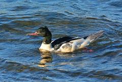 Goosander at Draycote Water (robmcrorie) Tags: goosander male draycote water severn trent reservoir warwickshire bird bircding nature wildlife
