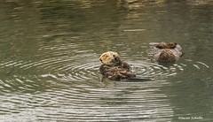 Nap time in the harbor (Photosuze) Tags: seaotters threatened mammals marinemammals pair two sleeping dozing resting animals nature wildlife endangered