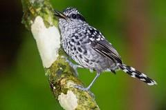 ItamambucaJan2012-485 (Luiz Baroni Junior) Tags: 2012 ano aves cidade itamambuca itamambucaecoresort lugares pintadinhodrymophilasquamata sopaulo ubatuba riodejneiro