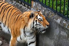 Kaliningrad_Zoo_2011_06_44 (Фото Москвы Moscow-Live.ru) Tags: тигр