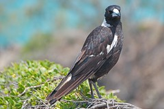 not 1 step closer (Leonard J Matthews) Tags: stern look beak magpie bird creature environment creation nature noosaheads queensland nationalpark australia mythoto