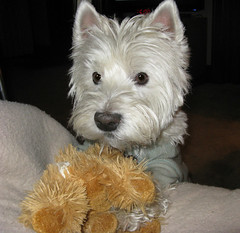 """11/12A ~ """"Riley, My Motivation!"""" (ellenc995) Tags: riley westhighlandwhiteterrier 12monthsfordogs16 thesunshinegroup rubyphotographer coth alittlebeauty coth5 sunrays5 fantasticnature challengeclub supershot abigfave challengeclubchampion 100commentgroup"""